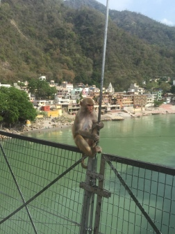 Rishikesh Monkeys (watch your shiny things - they will grab them)